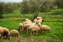 201802_Morocco_Fes_photo-frances-scanlon-04793_sheep