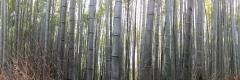 IMG_0751_bamboo pano_best
